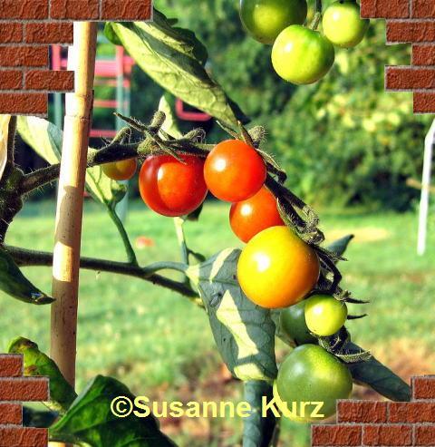 gekräuselte blätter bei tomaten